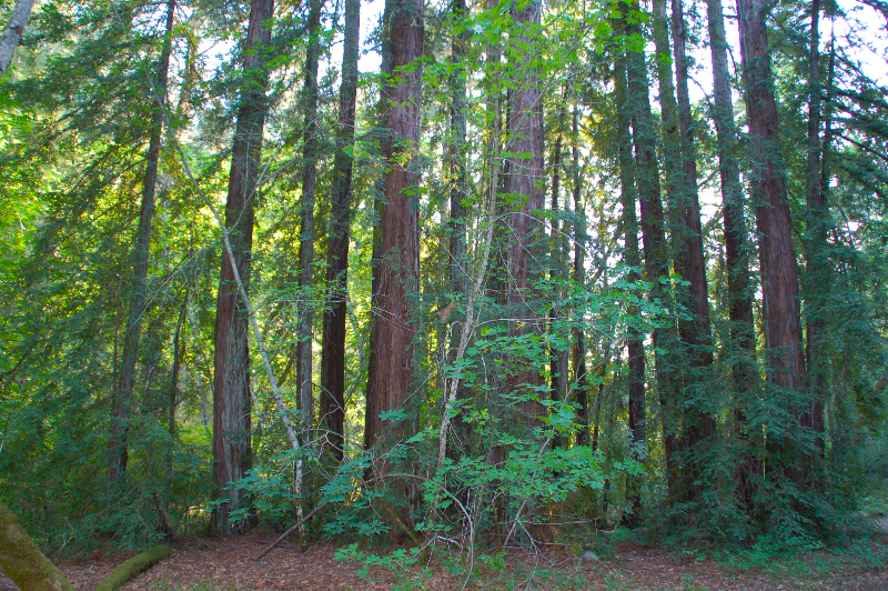 Redwood grove at Bothe-Napa