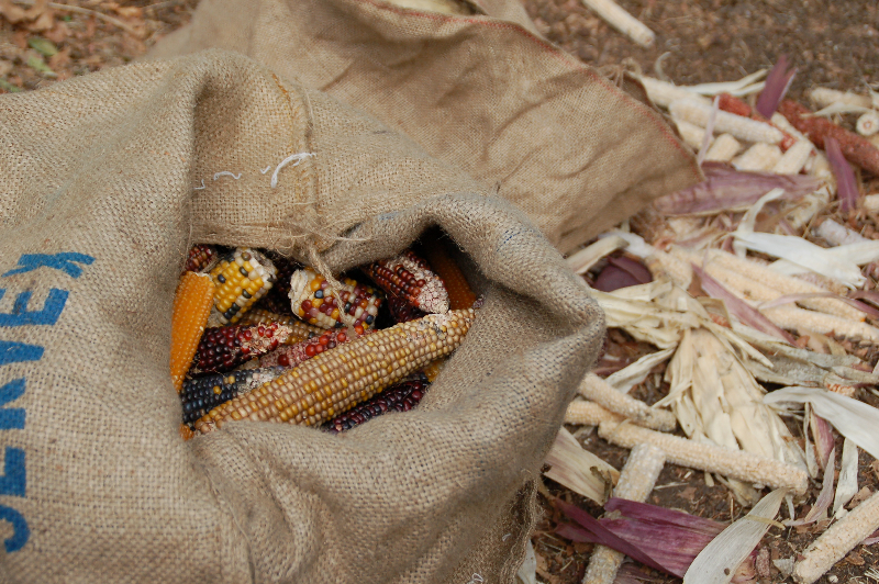Shucking Bale Mill\'s corn harvest.